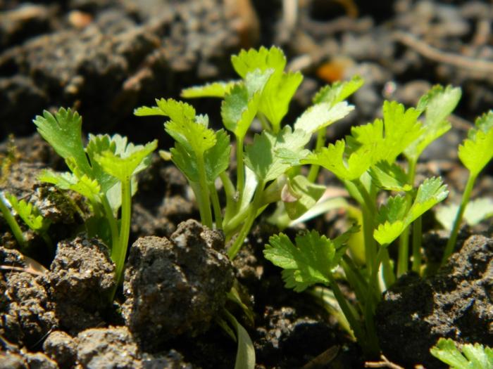 Koriander Pflanzen stecklinge
