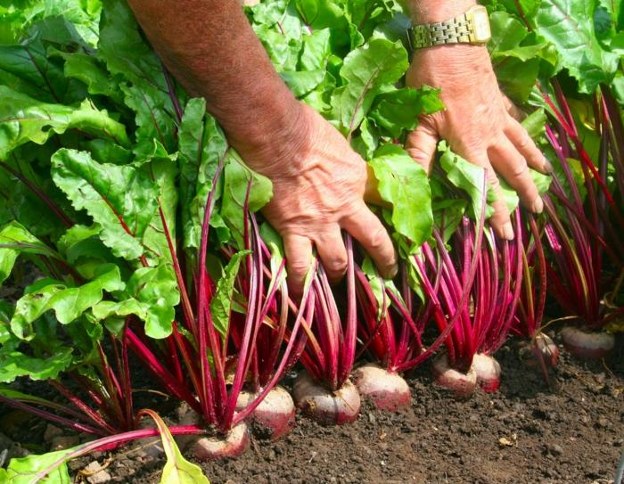 Rote Beete pflanzen