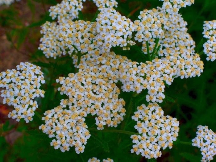 Schafgarbe blüten