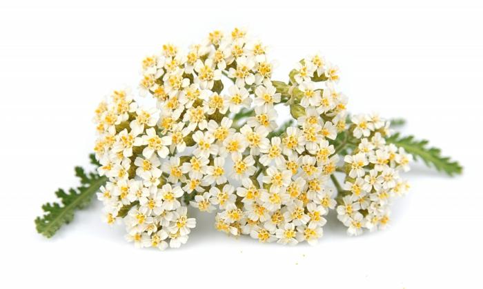 Schafgarbe weiße blüten