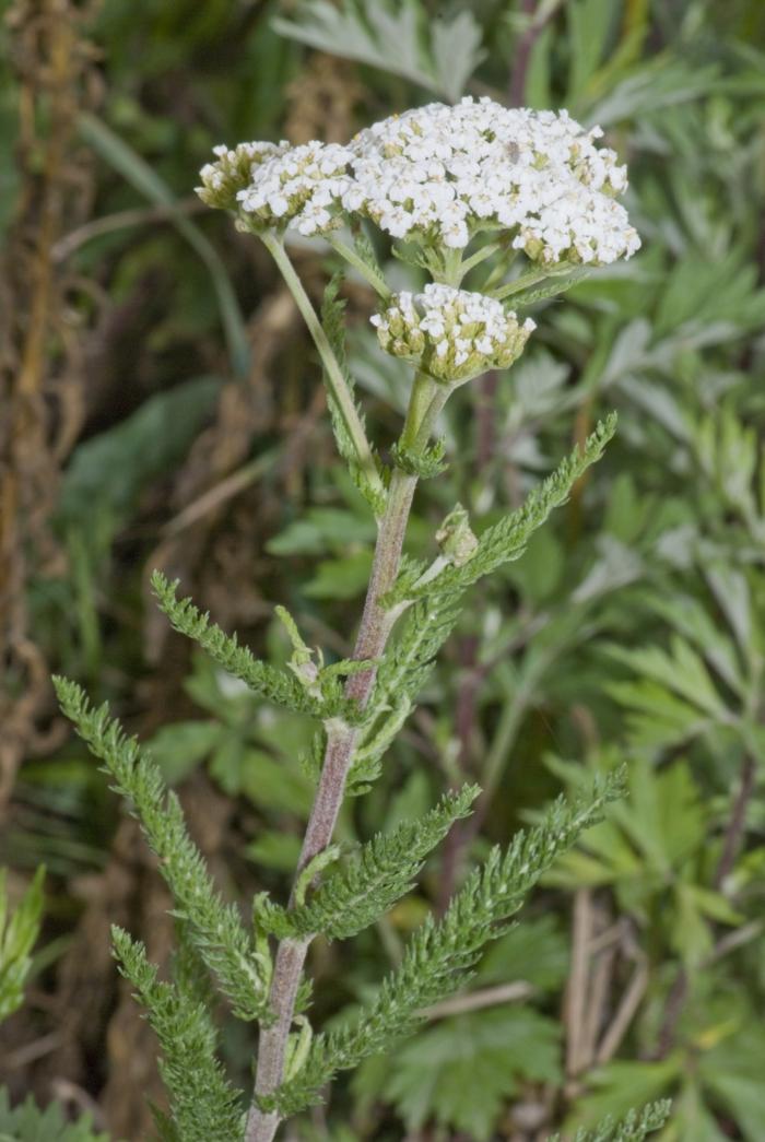Schaf garbe weiße pflanze