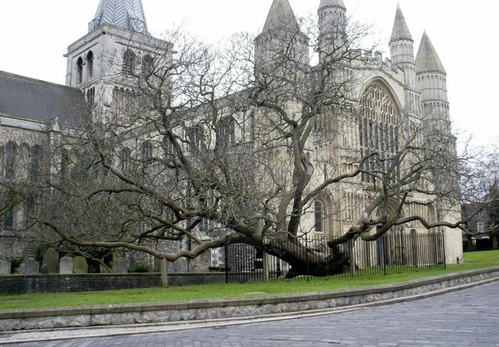 trompetenbaum alter baum rochester cathedral