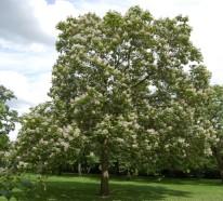 Der Trompetenbaum – Herkunft und Wissenswertes