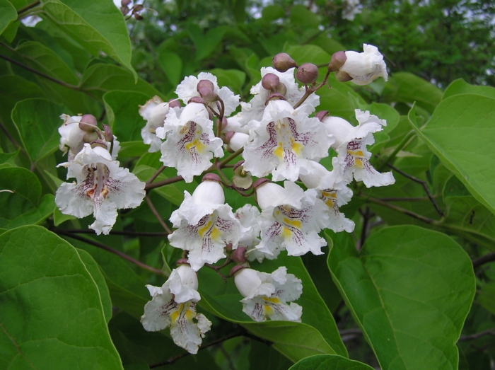 trompetenbaum blattwerk zarte blüten