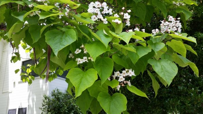 trompetenbaum garten park blütezeit juli