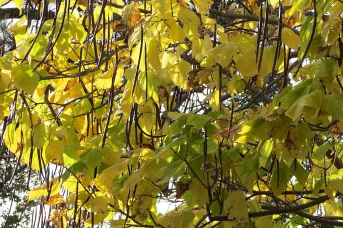 trompetenbaum gelbes blattwerk herbst