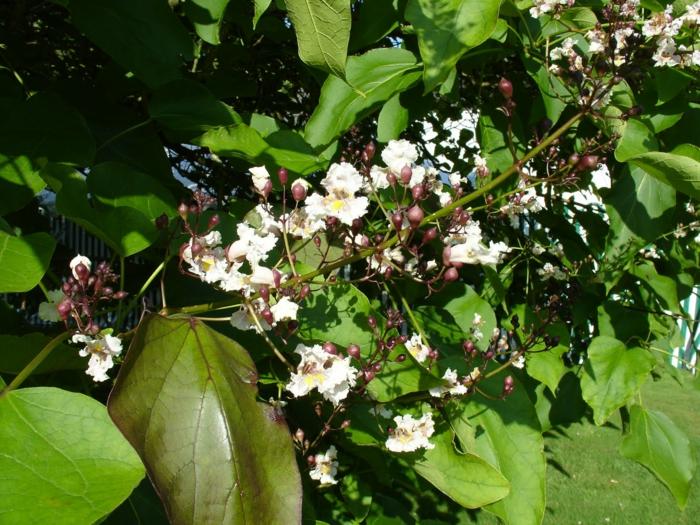 trompetenbaum grüne große blätter weiße blüten