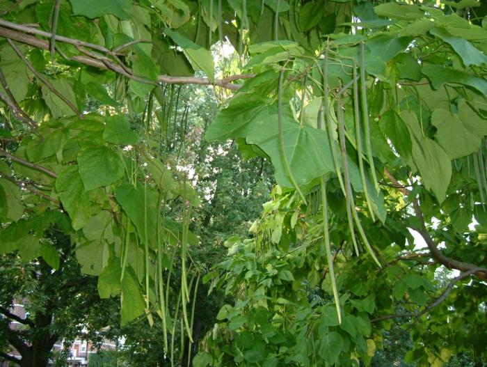 trompetenbaum grüne lange bohnen früchte