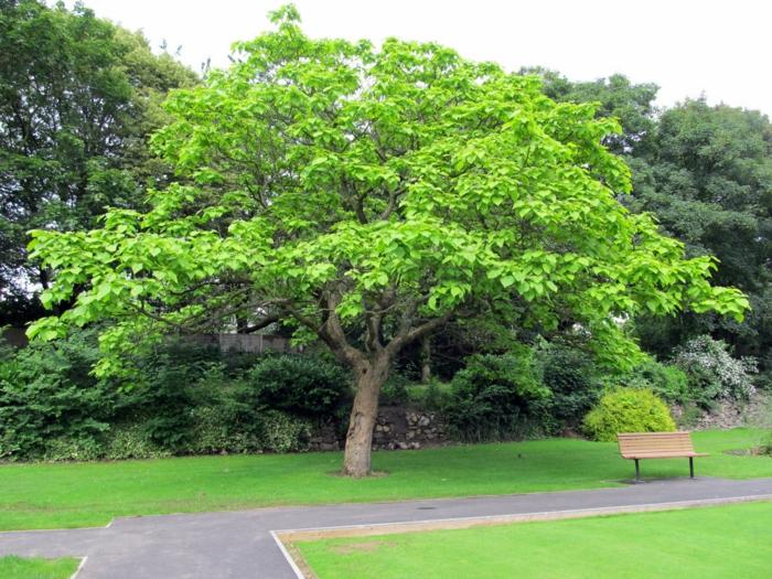 trompetenbaum große krone park