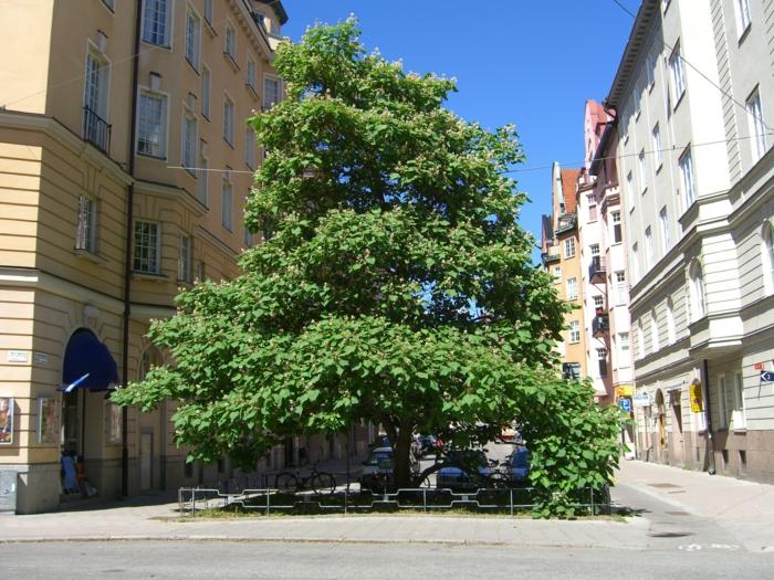 trompetenbaum stadtbaum hoch