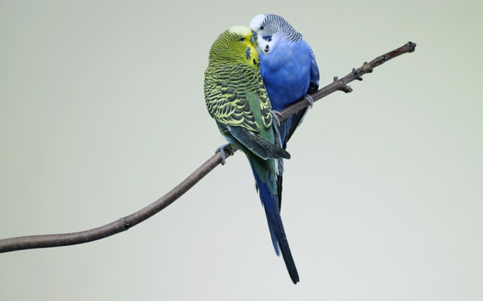 verliebte wellensittiche haustiere pflege tierwelt
