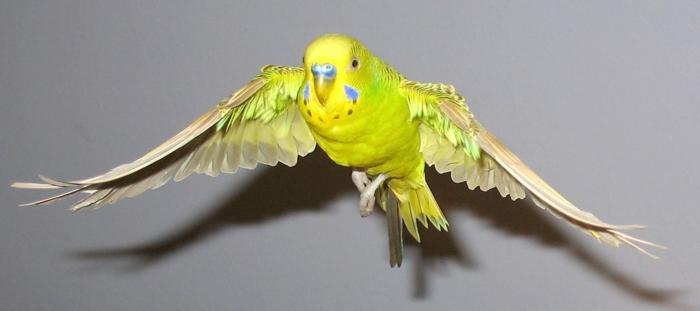wellensittich fliegend haustiere pflege tierwelt