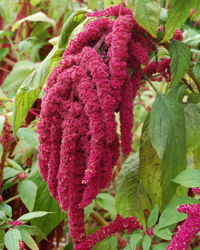 Amaranth pflanze bluete