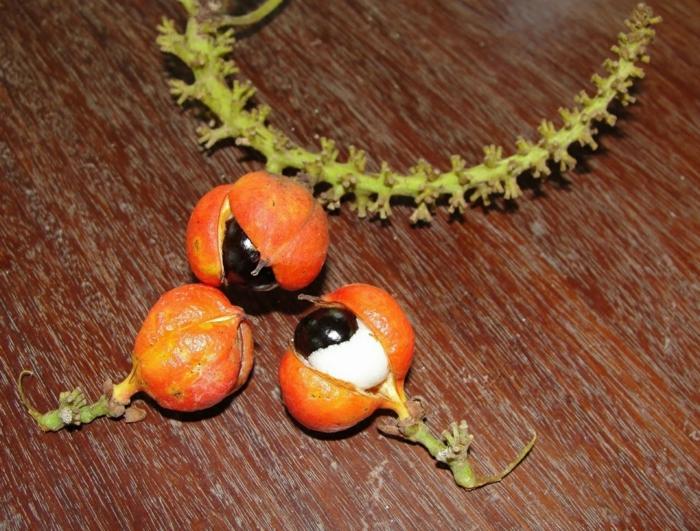 guarana pulver ernte früchte schalen augenförmig