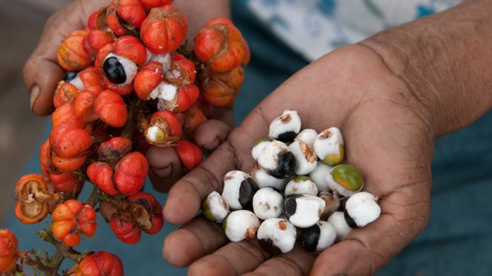 guarana pulver geerntet geschält reife früchte