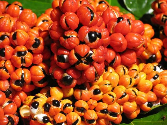 guarana pulver pflanze früchte