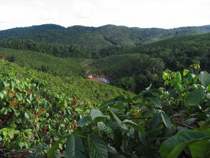 guarana pulver plangege brasilien pflanzen