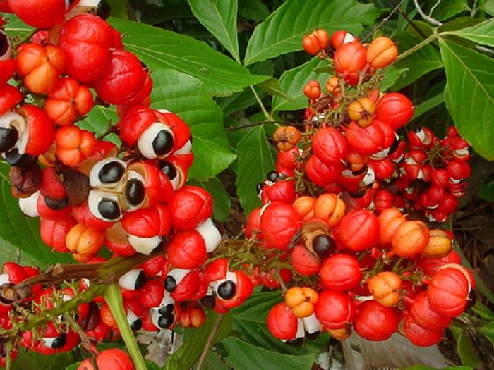 guarana pulver rote schalen pflanze reife früchte