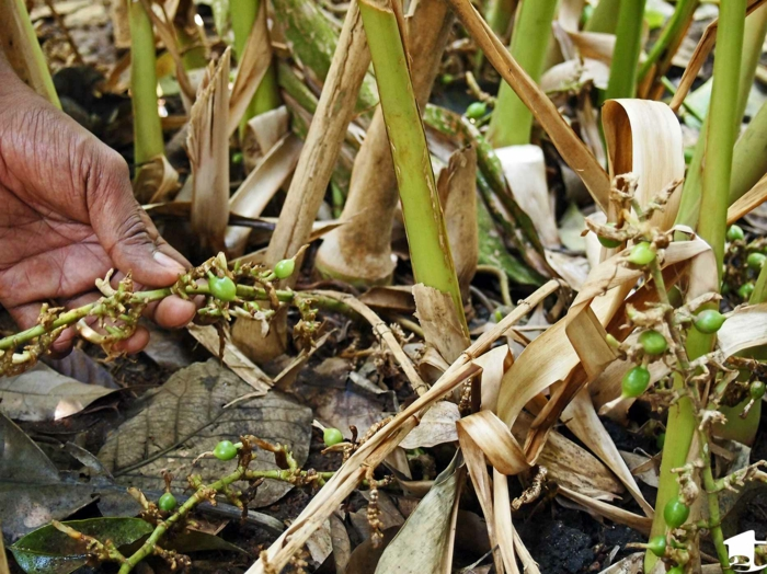 Elettaria cardamomum aromatisch gesund pflanze grüne früchte