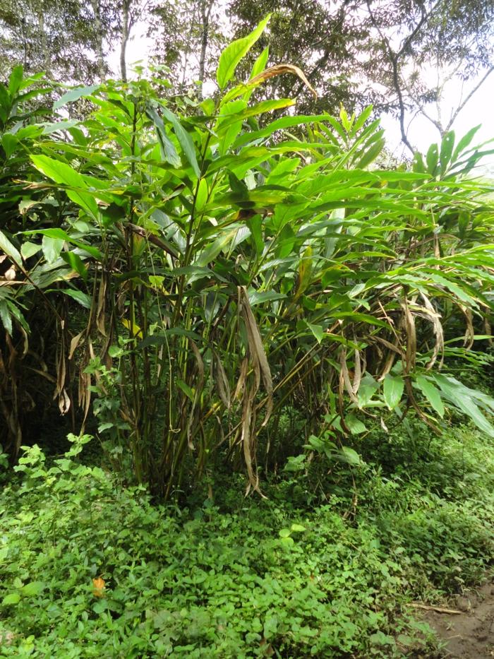 kardamom aromatisch gesunde pflanze