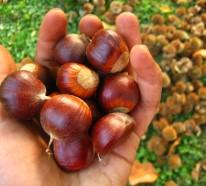 Die 5 magischen Eigenschaften der Kastanien