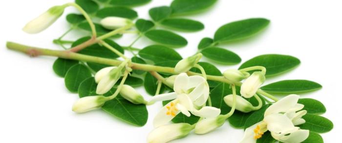 moringa pulver gesund grüne blätter weiße blüten