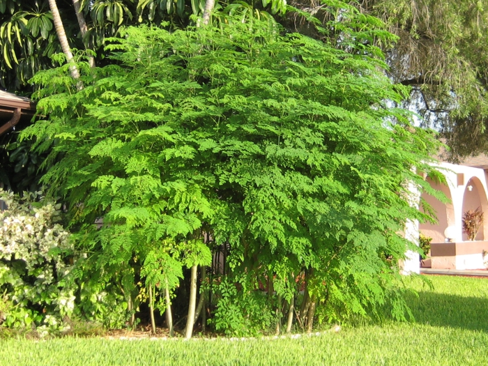 moringa tee gesund grünes blattwerk baum garten