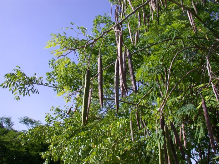 moringa pulver oleifera früchte hülsen