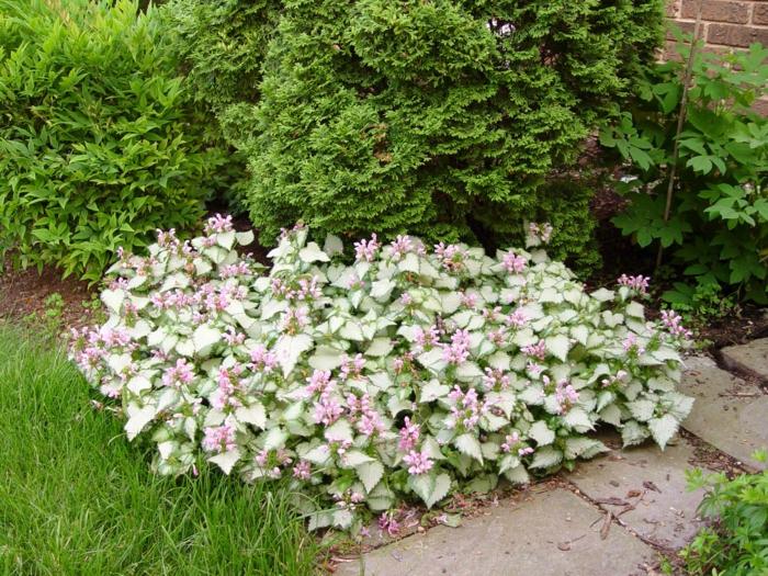 vorgarten pflanzen lamium garten gestalten ideen