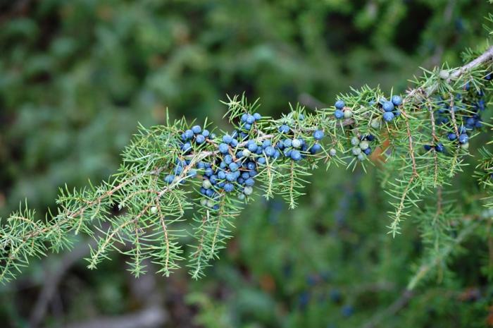 wacholderbeeren blau gesund aromatisch