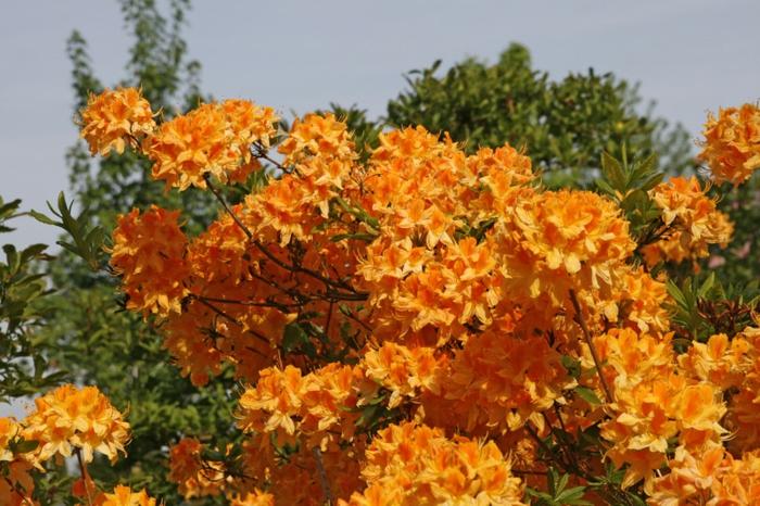 vielfarbige bl tenpracht einen rhododendrongarten anlegen. Black Bedroom Furniture Sets. Home Design Ideas
