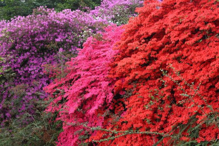 Rhododendrongarten rhododentron pflanze gartengestaltung