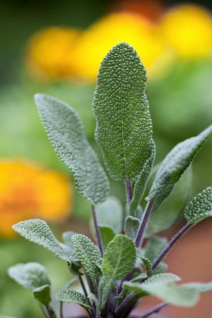 gewürze kaufen küche kräutergarten anlegen salbei gesund
