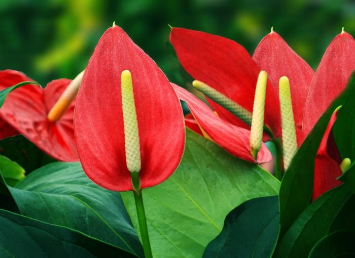 schattenpflanzen anthurium terrasse gestalten ideen