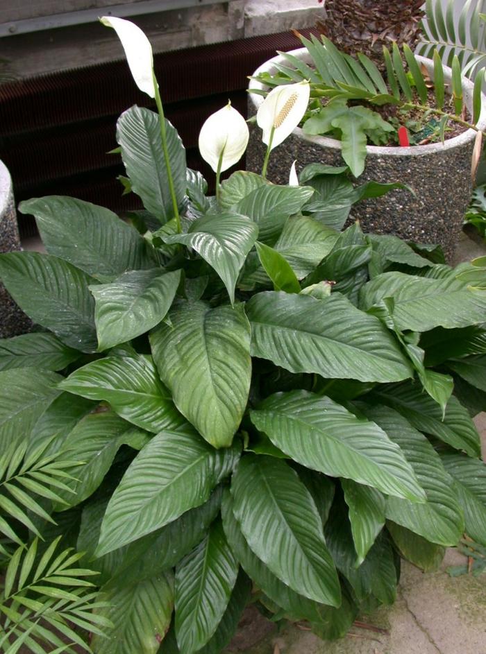 schattenpflanzen dunkle terrasse passende pflanzen