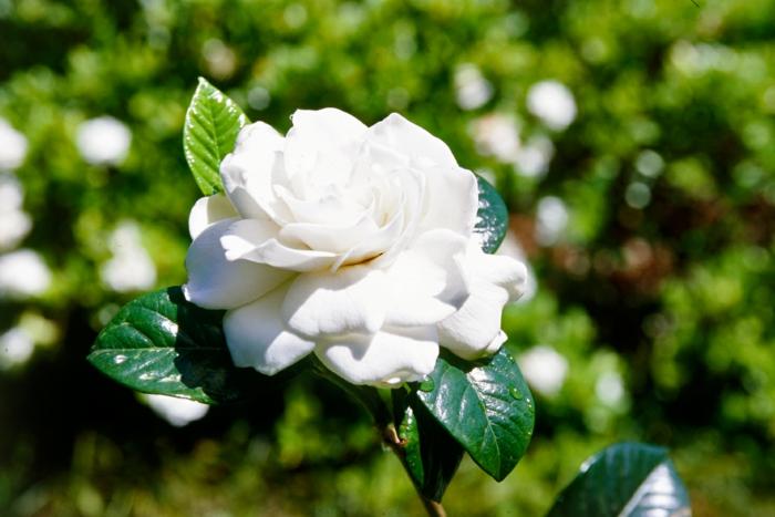 schattenpflanzen gardenie terrasse schatten pflanzen ideen