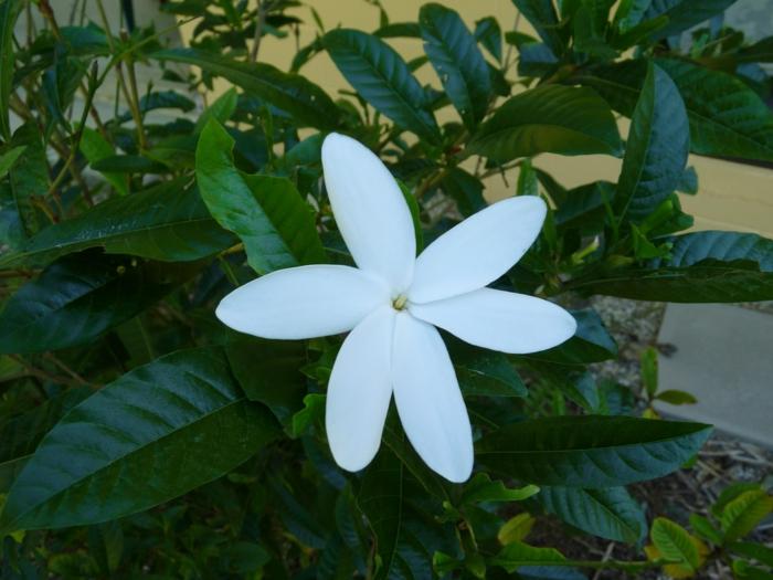 terrassengestaltung gardenie kreuzung schattenpflanzen terrasse