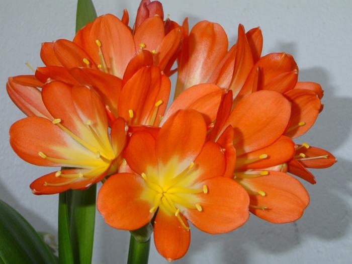 schattenpflanzen klivie blüten wunderschön terrasse