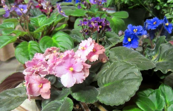 schattenpflanzen usambaraveilchen vielfalt terrasse gestalten