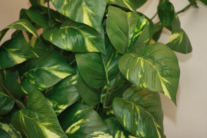 terrassengestaltung dekoideen schattenpflanzen Scindapsus