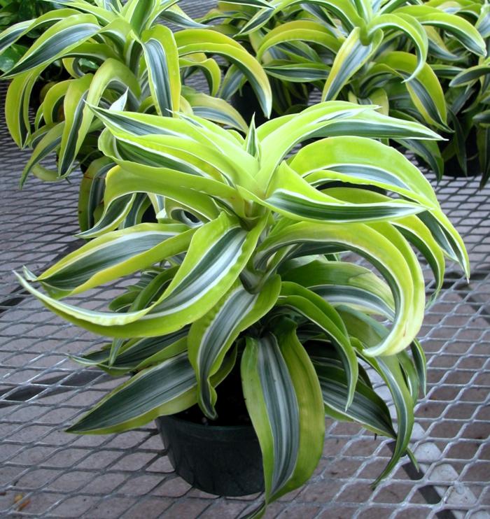 terrassengestaltung drachenbaum schattenliebende pflanzen