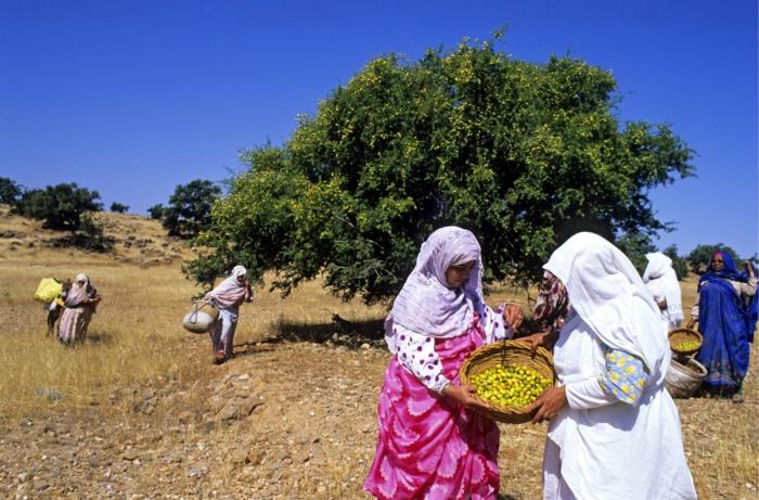 arganöl wertvoles öl gesund arganbaum arganfrüchte frauenkooperative arganernte afrika