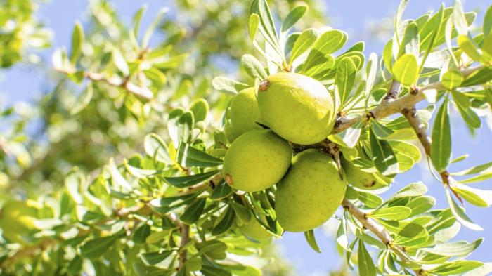 argan wertvoles öl gesund arganbaum grüne früchte schalen