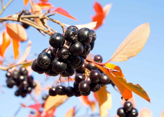 aronia rezepte saft apfelbeere gesund frucht saft herbst