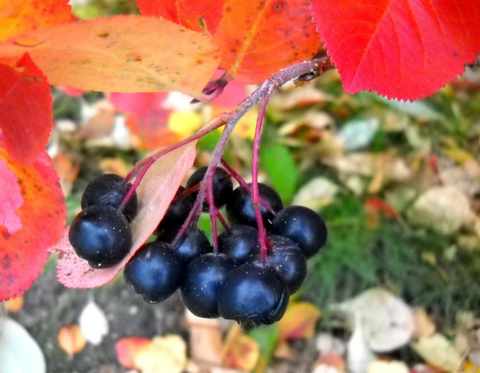 aroniabeeren rezepte saft apfelbeere gesund frucht saft herbstzweig