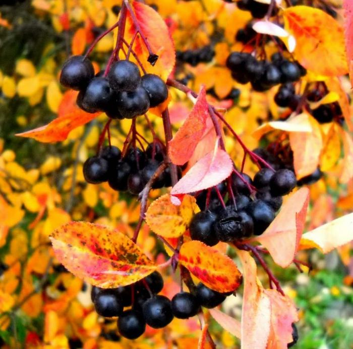 aronia rezepte saft apfelbeeren gesund frucht saft zugvogel spät sommer