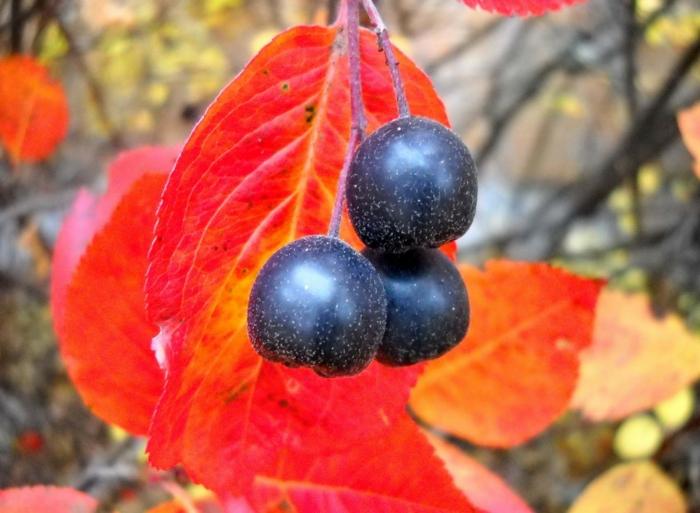 aronia rezepte saft apfelbeere gesund frucht saft zugvogel stock