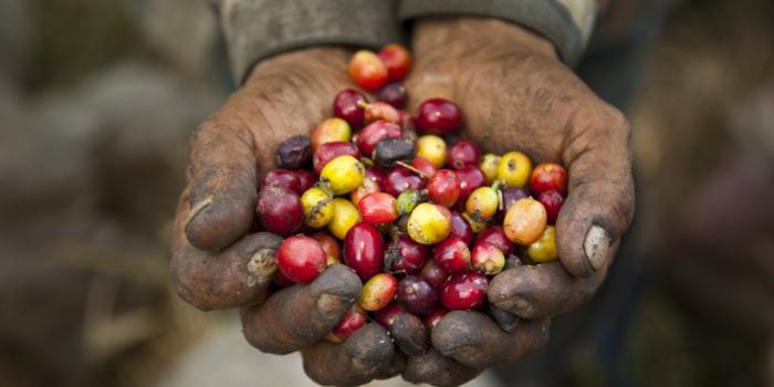 fair trade kaffee bio bohnen reif fairer handel