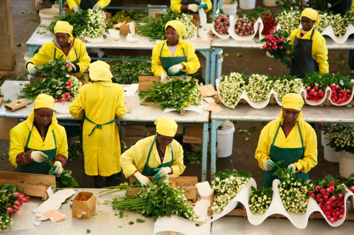 fairtrade produkte fair gehandelte rosen produktion frauen arbeiterinen kenia