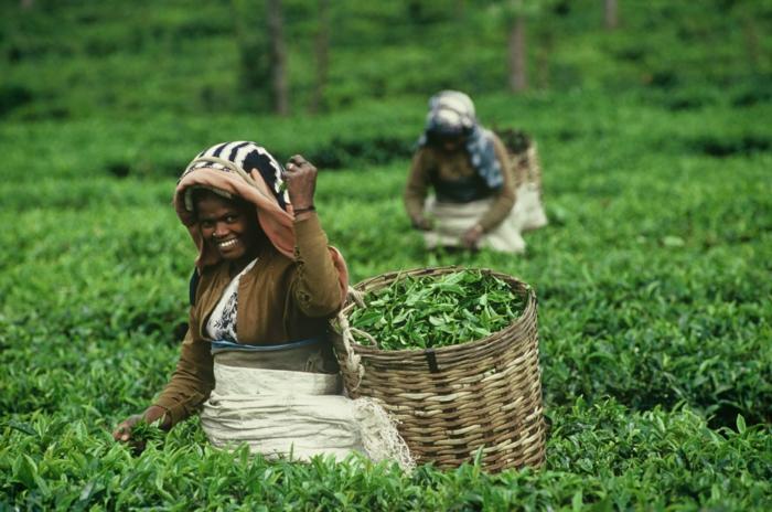 fairtrade produkte einkaufen tee asien teeplantage teetrinken teeblätter pflücken